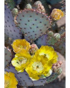 Purple Prickly Pear Cactus Blossoms