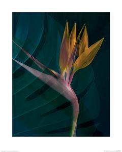 Dark Tropics IV Art Print Ian Winstanley 40x50cm
