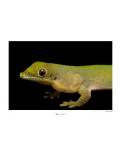 Goldstaub-Taggecko Art Print National Geographic 50x70cm
