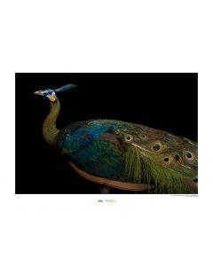 Grüner Pfau Art Print National Geographic 50x70cm