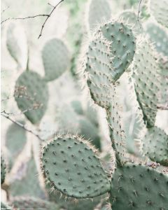 Kaktus Poster 40x50cm