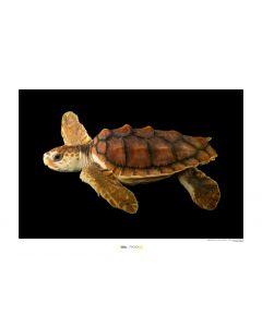 Unechte Karettschildkröte Art Print National Geographic 50x70cm