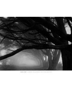 Cypresses - Skyline Drive