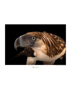 Philippinenadler Art Print National Geographic 50x70cm