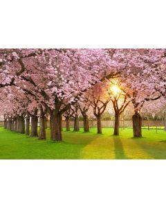 Kirschbäume 7-teilig Fototapete 350x260cm