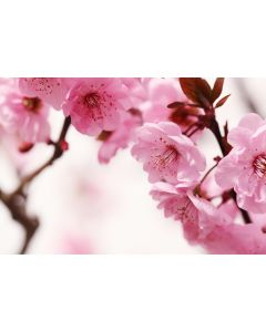 Pink Blossom 7-teilige Fototapete 350x260cm