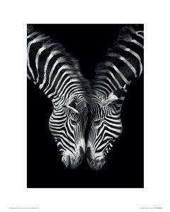 Zebras Zusammen