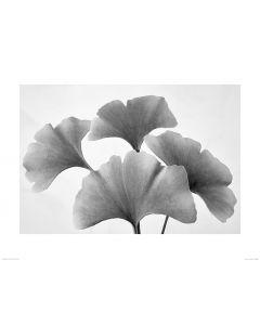 Ginkgoblatt in Schwarz und Weiß Art Print Dennis Frates 60x80cm