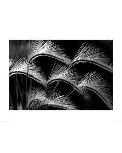 Wehende Grasfedern in Schwarz und Weiß Art Print Dennis Frates 60x80cm