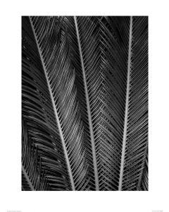 Sagopalmfarne in Schwarz und Weiß Art Print Dennis Frates 60x80cm