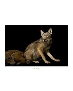 Rotwolf Art Print National Geographic 50x70cm