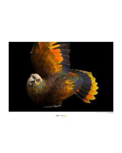 St. Vincent Papagei Art Print National Geographic 50x70cm