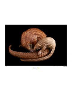Weißbauchschuppentier Art Print National Geographic 50x70cm