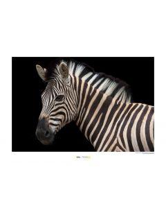 Zebra Art Print National Geographic 50x70cm