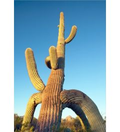 Tripod Saguaro #5