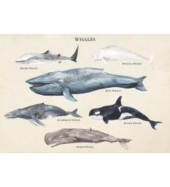Whale Species II