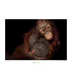 Borneo-Orang-Utan Art Print National Geographic 50x70cm