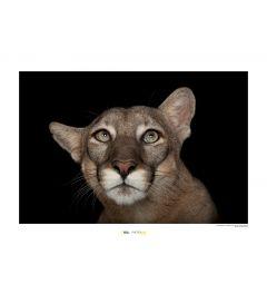Florida Panther Porträt Art Print National Geographic 50x70cm