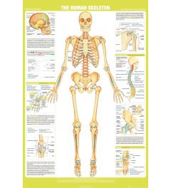 Chartex Skelett Poster 61x91,5cm
