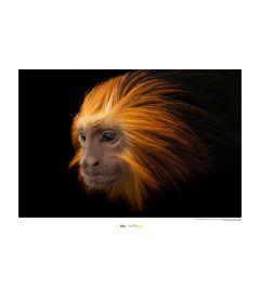 Goldkopflöwenäffchen Art Print National Geographic 50x70cm