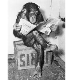Schimpanse Liest Eine Zeitung Poster 61x91.5cm