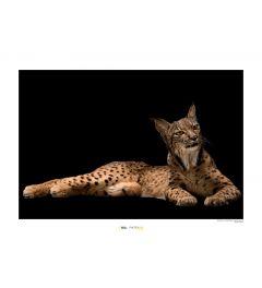 Iberischer Luchs Art Print National Geographic 50x70cm