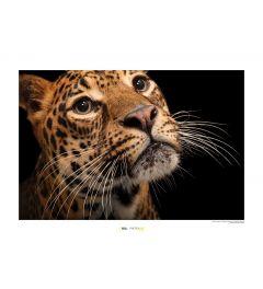 Java-Leopard Art Print National Geographic 50x70cm