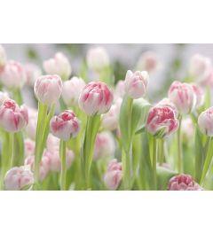 Tulpen Veld
