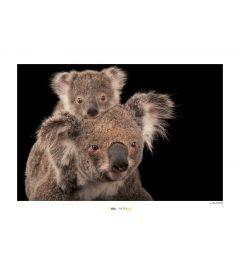 Koalabär Art Print National Geographic 50x70cm