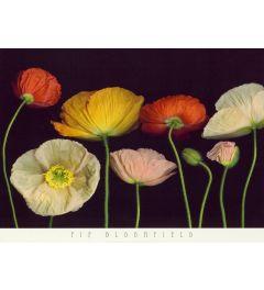 Poppy Garden I