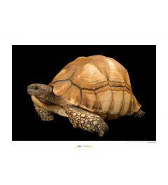 Madagaskar-Schildkröte Art Print National Geographic 50x70cm