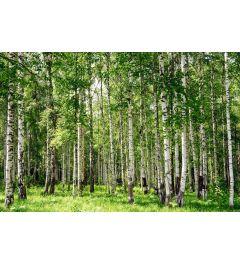 Birken-Wald