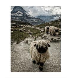 Schweizer Schafe Art Print