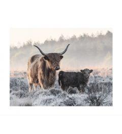 Schottischer Highlander Mit Kalb Art Print