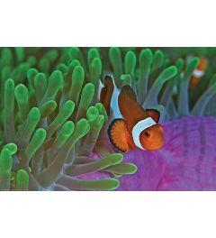 Clownfische mit Seeanemonen