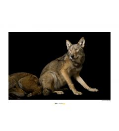 Rotwolf Art Print National Geographic 50x70cm